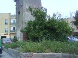 Limonero amenazado en la continuación de C/ Plutarco, Málaga
