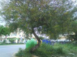Mimosa amenazada en la continuación de C/ Plutarco, Málaga.