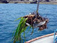Posidonia arrancada por ancla de barco de recreo