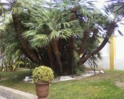 palmito español (Chamaerops humiles) de tamaño muy inusual