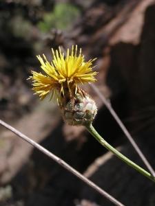 Centaurea prolongoi