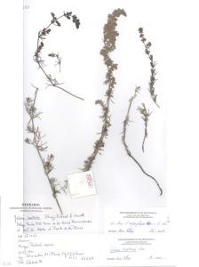 Último pliego de Galium tunetanum antes de su extinción en la zona