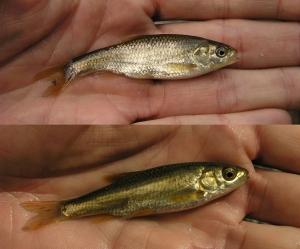 Squalius pyrenaicus (arriba) y Squalius malacitanus (abajo)