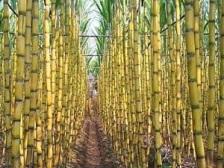 Campo de cañas de azúcar... ¿es ético consumir azúcar?