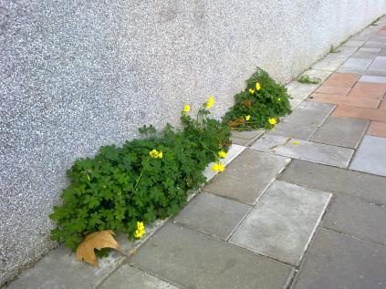 1. Planta creciendo en la minúscula rendija entre la pared y el suelo: Oxalis pes-caprae (vinagreta, trébol).