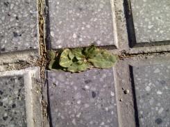 4. Plantita en el hueco de unas baldosas en una acera.