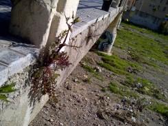 6. Dos plantas en la viga vertical del puente del Molinillo (Málaga): Sonchus cf. oleraceus (posiblemente).