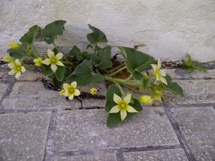 9. Preciosas flores de Ecballium elaterium (pepinillos del diablo), casi sin tierra, ni cuidados de jardinero alguno.