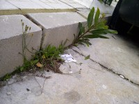 12. Al menos dos especies intentando florecer entre el cemento y la piedra (la lejana es una mimosa, Acacia saligna).