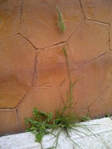 14. Otras dos plantas, una con su espiga floral pegándose a la pared, la gramínea Polypogon monspeliensis.