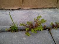 15. Débiles plantitas rompiendo la piedra, sin prisas (a la derecha Polycarpon tetraphyllum).