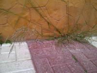16. Piptatherum miliaceum que prospera hasta fructificar, sin quejarse de sus duras condiciones.