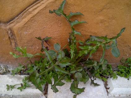 17. Maraña de biodiversidad, en una rendija (Sonchus oleraceus y Bituminaria bituminosa).