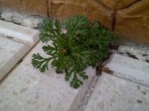 19. Preciosa planta creciendo oblicua, sin quejarse (Glebionis cf. coronaria).