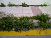 22. Preciosa acera florida, aunque la belleza es relativa (en el centro una Lactuca cf. serriola, de la familia de las lechugas y con sus hojas aserradas).