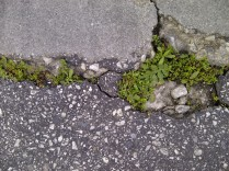 24. Plantitas rompiendo el asfalto, sin miedo.