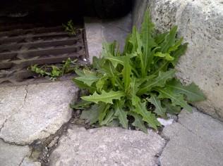 26. Saludable planta (Sonchus cf. asper) en un bordillo, sin miedo a ser atropellada.