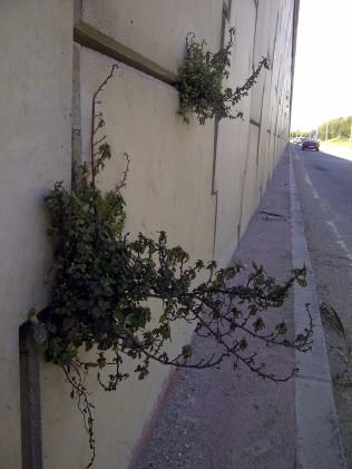 28. Plantas silvestres en una pared... intentando un jardín vertical (Parietaria judaica).