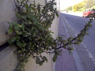 27. En la pared del puente de una autopista, creciendo sin dificultad aparente (Parietaria judaica).