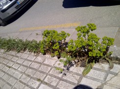 32. No es sólo una especie la que aprovecha su oportunidad (Euphorbia helioscopia).
