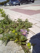 31. Centaurea pullata floreciendo a pesar del tráfico y de las baldosas: ¿No es sorprendente y maravilloso?