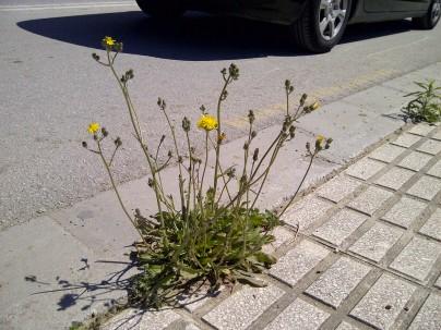 33. Flores amarillas para el tráfico I (Crepis vesicaria).