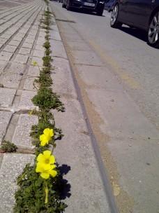 34. Flores amarillas para el tráfico II (Oxalis pes-caprae).