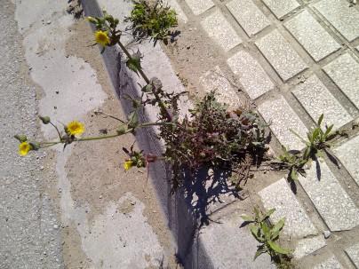 35. Flores amarillas para el tráfico III (Sonchus oleraceus).