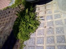 38. Preciosas espiguitas junto a la alcantarilla de electricidad (Rostraria cristata).