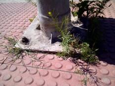 39. Junto a una farola es buen sitio para florecer (Erysimum sp.).