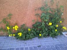 40. Precioso parterre que prescinde de jardinero (Oxalis pes-caprae, Sonchus oleraceus, Mercurialis ambigua).