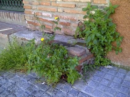 41. Los ladrillos no impiden el crecimiento, ni la floración de muchas especies (Sonchus oleraceus, Parietaria judaica, Cymbalaria muralis).