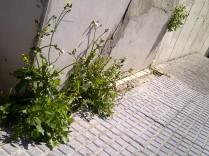 42. En el suelo embaldosado, o en la agreste pared... cualquier sitio es bueno para florecer (Sonchus oleraceus).