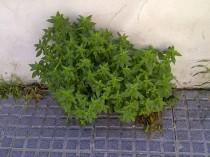 44. Ramo verde, en suelo gris (Mercurialis ambigua).