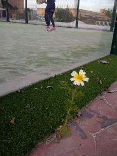 48. Crisantemo bicolor (Glebionis coronaria) entre las baldosas y el césped artificial junto a una pista de pádel.