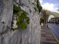 49. Una pared rugosa, buen sitio para germinar (Stachys circinata, en Mijas pueblo).