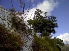 51. Brazos de una higuera (Ficus carica) en una pared de una calle de Mijas.