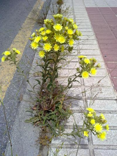 52. Ramo de flores en medio de una acera de una cerraja lanuda (Andryala integrifolia), muy típica en Málaga.