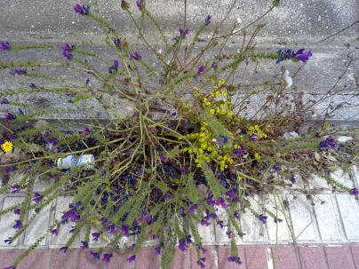 54. Preciosas florecillas malvas (Echium sp.) en el margen de una acera junto a una Euphorbia helioscopia.