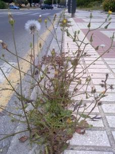 53. Urospermum picroides (barbas de viejo) en una acera malagueña.