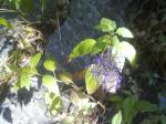 Flora en Barranco Blanco: Olorosas flores de alfileres (Trachelium caeruleum).