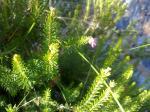 Flora en Barranco Blanco: Flor de brezo.