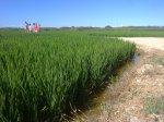 Entre los arrozales de El Palmar (Valencia, España)