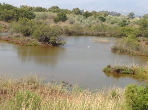 Aves en las lagunas de la Desembocadura del Guadalhorce (al fondo la iglesia de Guadalmar). Foto: Estela B.M.