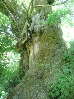 Inmensos árboles en las fragas gallegas