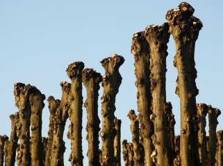 Árboles desmochados, una poda excesiva que acorta la vida de todos los árboles.
